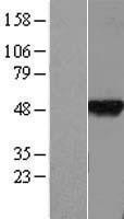 NBL1-08042 - BTBD6 Lysate