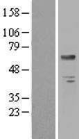 NBL1-08045 - BTD Lysate