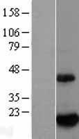 NBL1-08048 - BTG2 Lysate