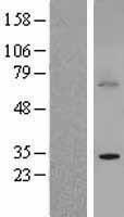 NBL1-08049 - BTG3 Lysate