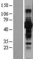 NBL1-08051 - BTN1A1 Lysate