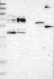 NBP1-88504 - BTN2A1