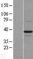 NBL1-08052 - BTN2A1 Lysate