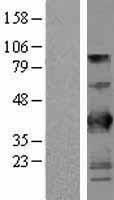 NBL1-08054 - BTN3A2 Lysate