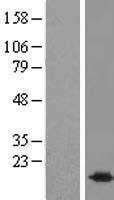 NBL1-08060 - BUD31 Lysate