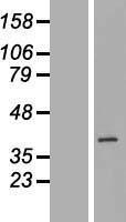 NBL1-08061 - BXDC1 Lysate
