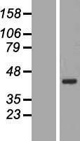 NBL1-08062 - BXDC2 Lysate