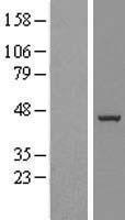 NBL1-08063 - BXDC5 Lysate
