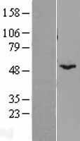 NBL1-08064 - BYSL Lysate