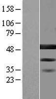 NBL1-08066 - BZW2 Lysate