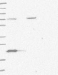 NBP1-88698 - Bcl-2-like 8