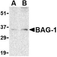NBP1-76714 - BAG1