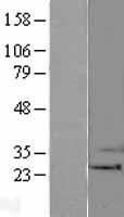 NBL1-07909 - Bak Lysate