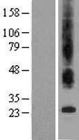 NBL1-16807 - Bax inhibitor 1 Lysate