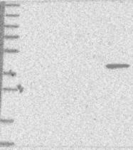 NBP1-90002 - Bcl-2-like 13