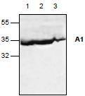 NBP1-45327 - Bcl-2-like 5