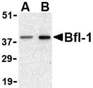 NBP1-76406 - Bcl-2-like 5