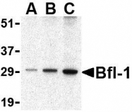 NBP1-76715 - Bcl-2-like 5