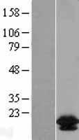 NBL1-07950 - Bcl2L2 Lysate