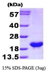 NBP1-37073 - Bcl-2-like 2