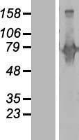 NBL1-07967 - Begain Lysate