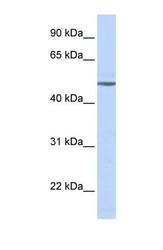 NBP1-59007 - Beta-1 adrenergic receptor