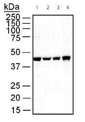 NB600-505 - alpha skeletal muscle Actin / ACTA1