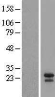 NBL1-07979 - Bid Lysate