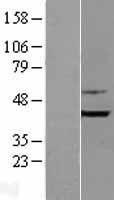 NBL1-15933 - Bif-1 Lysate