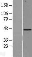 NBL1-07973 - Biglycan Lysate