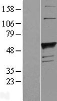 NBL1-10863 - Blood group H inhibitor Lysate