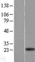 NBL1-07996 - Bmf Lysate