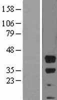 NBL1-07997 - Bmi1 Lysate