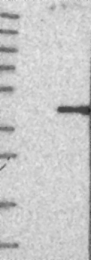 NBP1-88377 - BOLL / BOULE