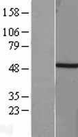 NBL1-16661 - Brachyury / Bry Lysate
