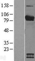 NBL1-12635 - Breast cancer suppressor candidate 1 Lysate