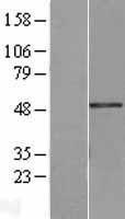 NBL1-12636 - Breast cancer suppressor candidate 1 Lysate