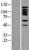 NBL1-08056 - Bub1 Lysate