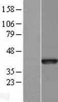 NBL1-08058 - Bub3 Lysate