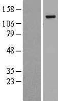 NBL1-08057 - BubR1 Lysate