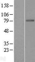 NBL1-07942 - Butyrylcholinesterase Lysate