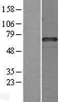 NBL1-15855 - C1 Inactivator Lysate