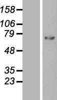 NBL1-15856 - C1 Inactivator Lysate