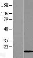 NBL1-08074 - C10orf132 Lysate