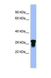 NBP1-59540 - Platelet receptor Gi24