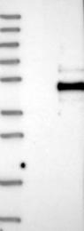 NBP1-88967 - Platelet receptor Gi24