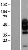 NBL1-08079 - C10orf54 Lysate