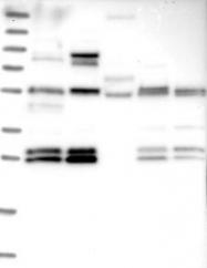 NBP1-81068 - C10orf67