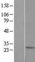 NBL1-08085 - C10orf67 Lysate