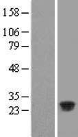 NBL1-08109 - C11orf53 Lysate